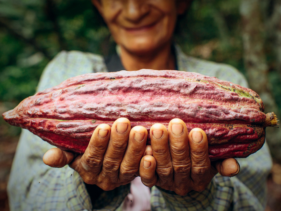 A cacao pod like this one might contain 20 to 50 cocoa beans; enough for about 30 grams of chocolate. Image credit Bobby Neptune / USAID via Flickr