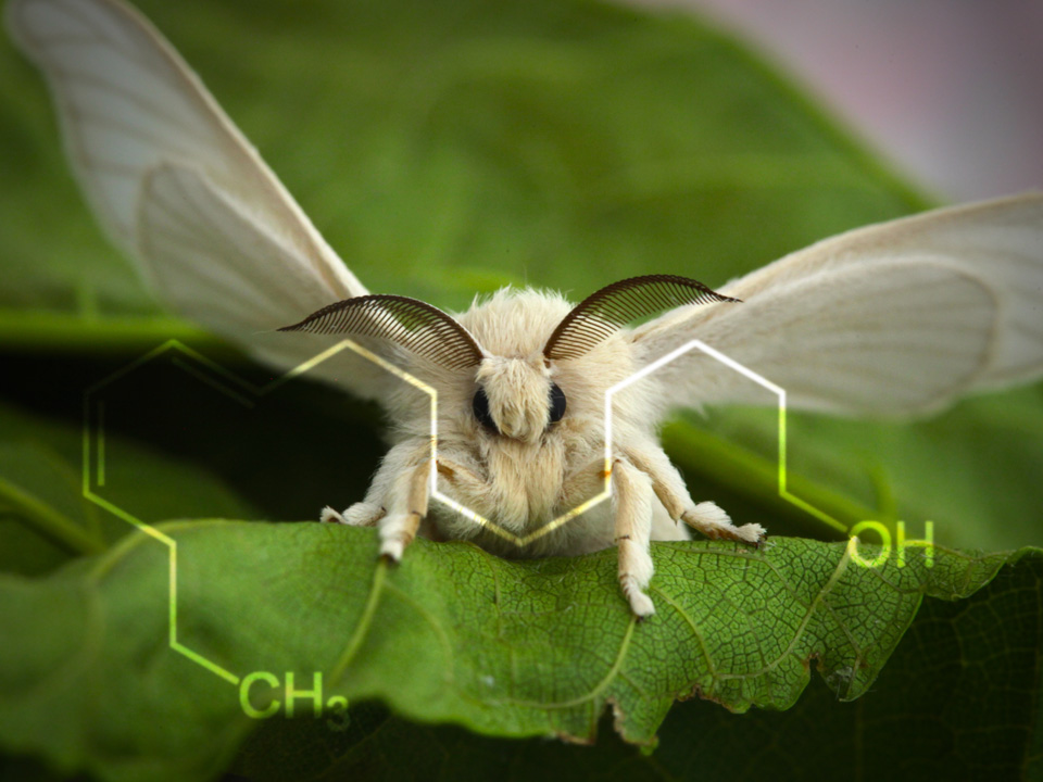 Bombykol, the first pheromone to be identified chemically, is used by male silkworm moths to attract mates. Image credit: Nikita via Flickr (modified)