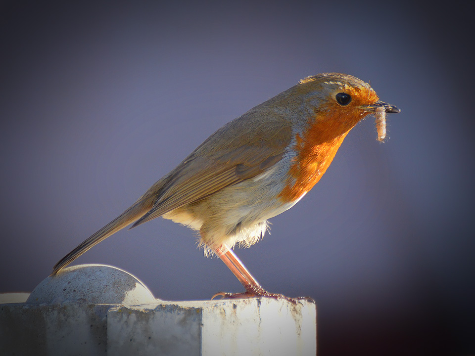 Does the early bird always get the worm? Image credit Jack Langton via Flickr https://flic.kr/p/GzFj6L